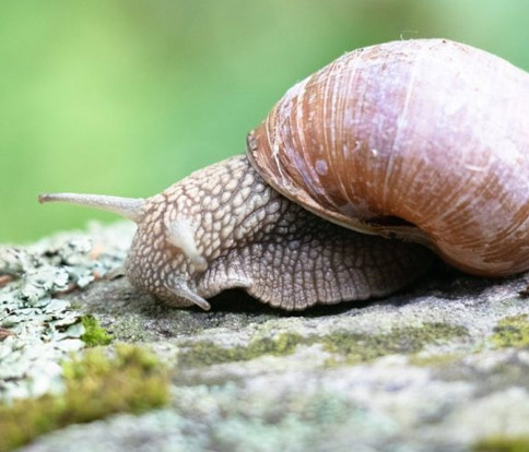 Snail Meat A Blessing To Your Health Or A Myth